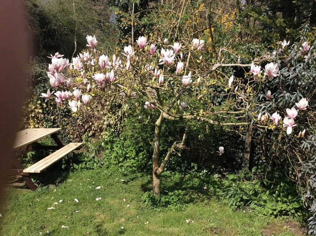 Magnolia Tree For Sale In Harlow Essex Gumtree