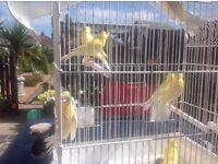 Beautiful canarys 8-9 week old £15 each