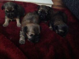 Lhasa apso x yorkie Puppys ready now
