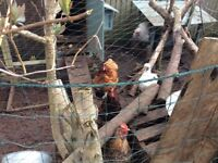 Chickens need rehoming