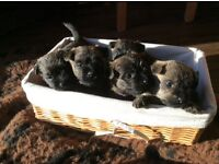 Registered Pedigree Cairn Terrier Puppies Home reared 4 lovely boys ready to go