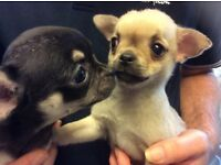 Chug puppies. Only 2 in litter