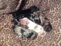 CHIHUAHUA PUPPIES 5 FEMALE MERLES (ALL DIFFERENT) & 1 MALE BLACK, with TAN FEET AND TUMMY