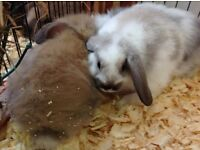 Baby Mini Lop Rabbits and Baby Lionhead Dwarfs