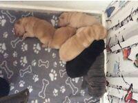 Shar-pei pups for sale £500-£750