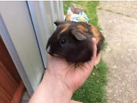 Cute baby guinea pig