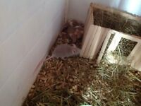 Female baby mice