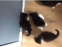 Maincoone/ Norwegian forest kittens