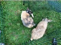 Two male rabbits,free to good home