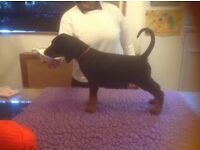 Top Quality Dobermann Pups for Sale. Fantastic Temperaments, Mum is Sister to Two UK Champions