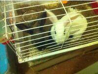 Pet alpine rabbits tame