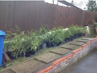 Conifers for sale