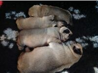 Quality Pug Puppies KC Registered