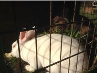 Very tame rabbits needing homes urgently