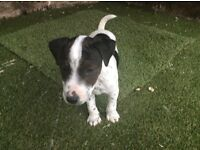 Jack russell puppies 8 weeks old