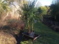 Palm Trees Very hardy Trachycarpus Fortunei For Sale.