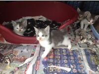 British blue x kittens
