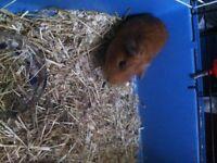 Teddy Bear Male Guniea PIG