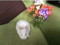 Baby Netherland Dwarf Rabbits for sale