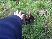Baby,teen,adult rabbits for sale