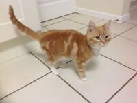 Young male ginger cat