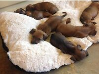 Only 2 smooth haired mini dachshund pups left !! £550