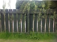 TREES WILLOW TREE CUTTINGS / BUSHES / SHOOTS . 4 FEET IN LENGTH READY FOR PLANTING