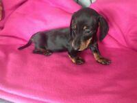 Miniature shorthaired dachshund