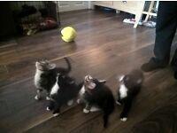 1 gorgeous kitten left, girl 9 weeks old £65 each