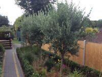 3 olive trees (standard/2m high)