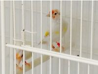 Sattinet white top goldfinch for sale