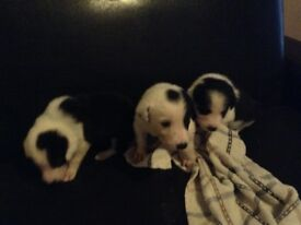 Merle x Border Collie Puppies