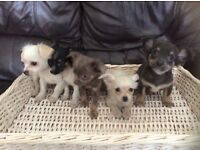 Chihuahua long coat puppies male and female ready to go