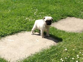 Pug puppies top,show quality kc