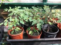 Piccolo tomato plants for sale
