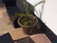 Selling palm trees 🌴 they are all in pots all 4 with pots for £60