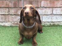 Miniature dachshund female