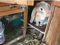 Rabbit English lop in need of a loving home 18 months old