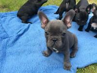 French bulldogs dogs