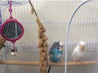 Budgies with white cage.