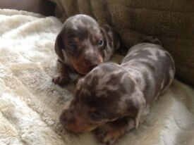 Beautiful mini Daxi puppies