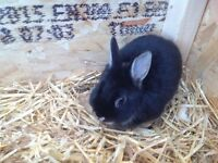 For sale Pure Bred Netherlands Dwarf Rabbits