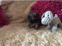Now for sale Teacup Poochis (2nd generation) Dad Teacup poodle x 1 Generation, mum Chihuahua