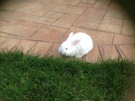 Rabbits (Mini lops)