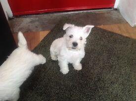 KC registered westie pups. One boy one girl