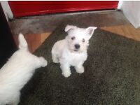 KC registered westie pups. One boy one girl