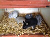 Baby Netherland Dwarf Rabbits