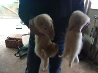 Ferrets free to a good home