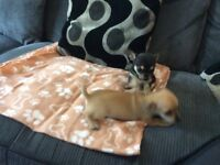 Chihuahua puppies for sale. I have mum as pet great with children plz ring 07377592620