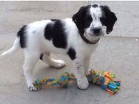 Kc registered springer spaniel pups